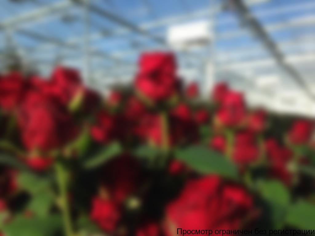 МОНОГОРОДА.РФ профинансирует расширение тепличного комплекса по выращиванию роз в Мордовии